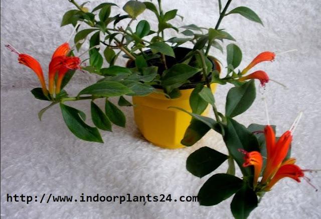 Aeschynanthus lobbianus Gesneriaceae indoor plant image