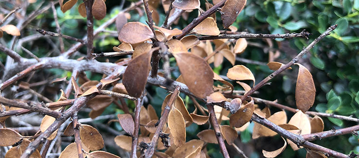 Evergreen tree disease signs and symptoms of blight