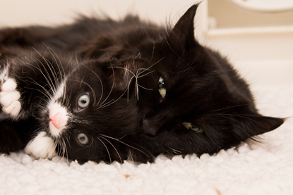 black cat and black and white kitten