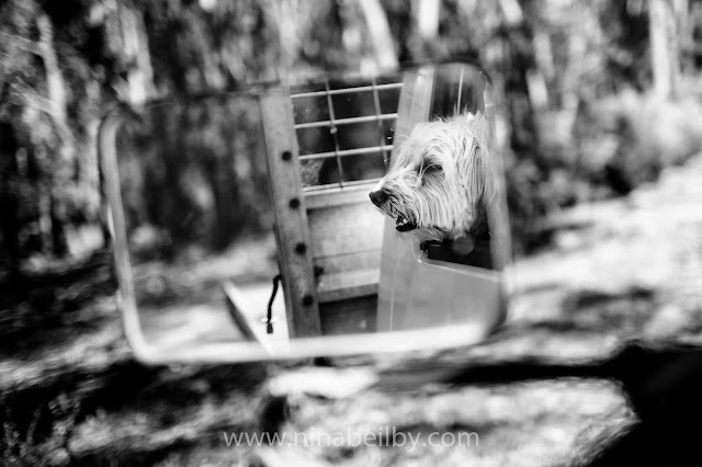 Dog in car Australian landscape and countryside photography in Rylstone, NSW