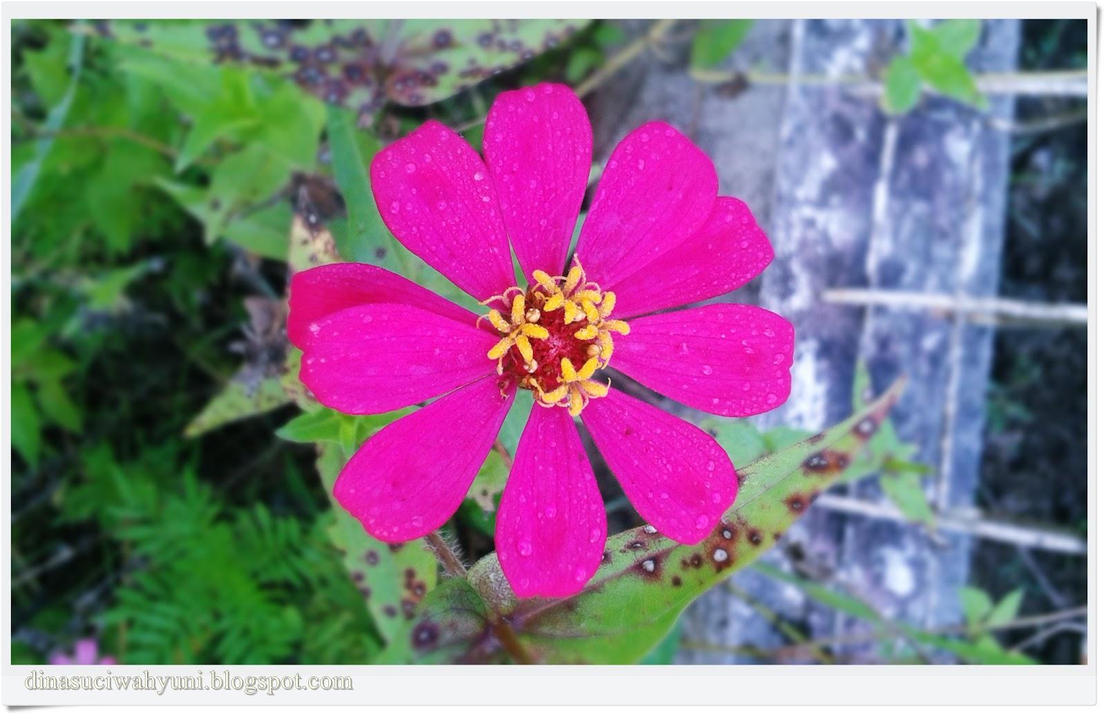 Klasifikasi Ilmiah Bunga Zinnia Peruviana Jdsk