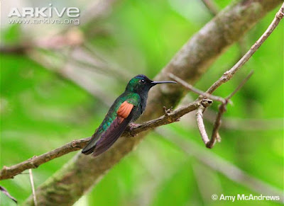 Oaxaca Hummingbird