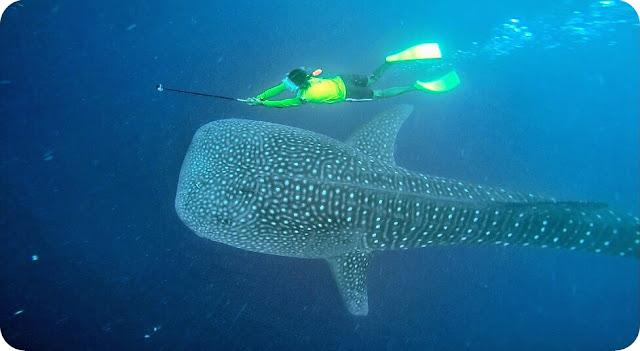 Berenang+Bareng+Whale+Shark