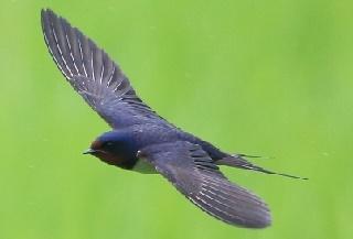オーストリアの国鳥ツバメ写真