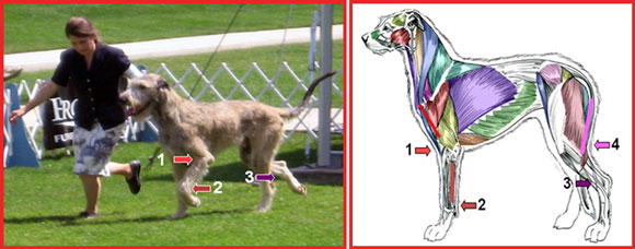Evaluating Flexion and Extension in Your Dog, by C. Sue Furman, Ph.D., Holistic Touch Therapy
