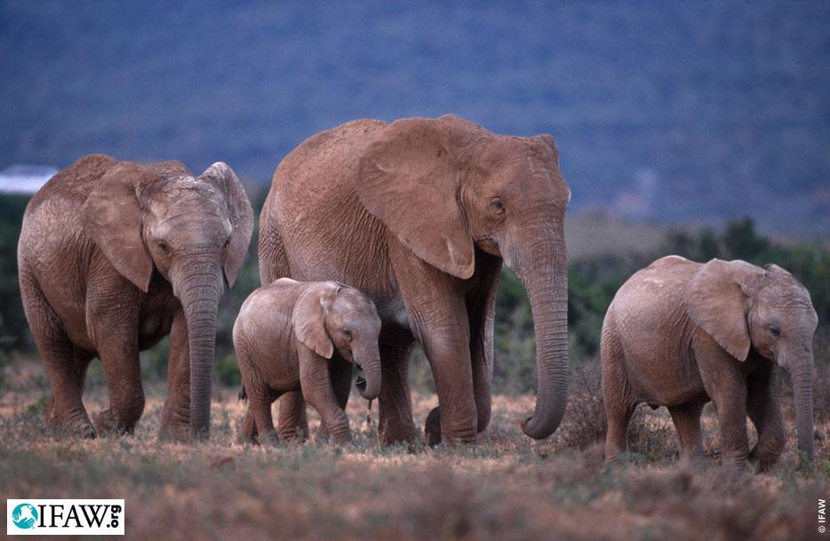 Fond d 39 cran l phant d 39 afrique fonds d 39 cran hd for Fond ecran gratuit animaux