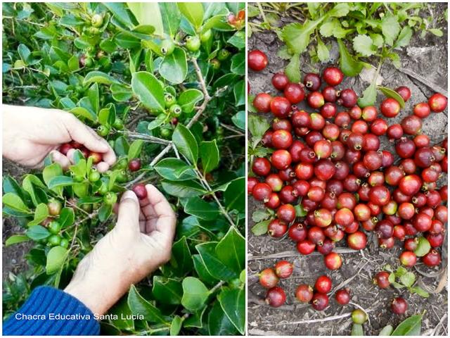 Cosechando frutos del Arazá - Chacra Educativa Santa Lucía