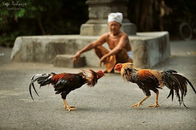 Sejarah Asal Usul Judi Ayam