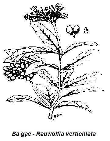 Hình vẽ Ba gạc-Rauwolfia verticillata-Nguyên liệu làm thuốc Hạ Huyết Áp