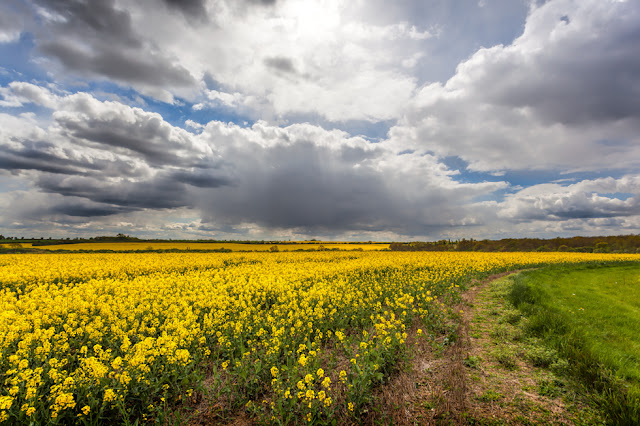 Clouds and sunshine over a bright yellow field of rape near Brampton Wood
