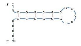 stop sequence atau stop signal, stop kodon, mekanisme berhentinya transkripsi, bagaimana transkripsi berakhir
