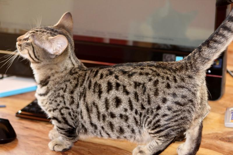 Pengenalan kucing MUNCHKIN  KEKUCING