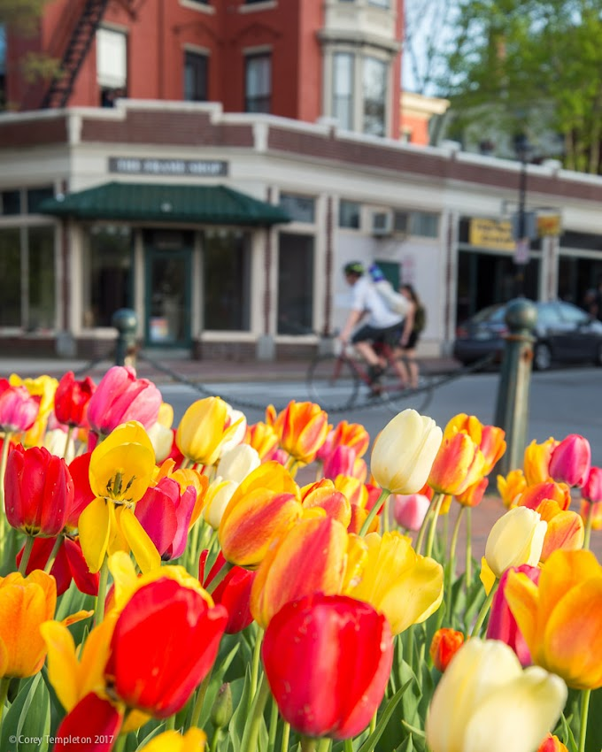 Portland, Maine USA May 2017 photo by Corey Templeton. Tiptoeing through the tulips at Longfellow Square spring evening