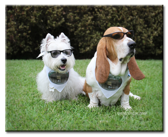 Basset Hound and Westie wearing sunglasses and a bandana