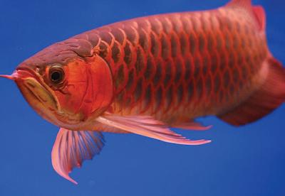 Super Red Arowana SI Ikan Naga Termahal Di Dunia