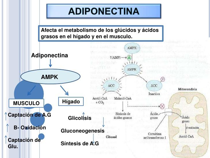Acelerar Еl Metabolismo  Aceleradores Naturales  Adelgazar Rápido