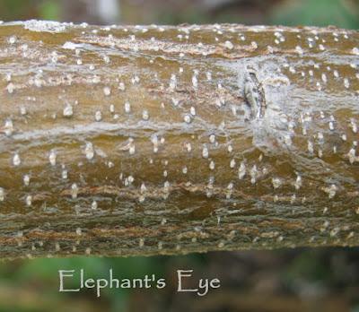 Brachylaena bark