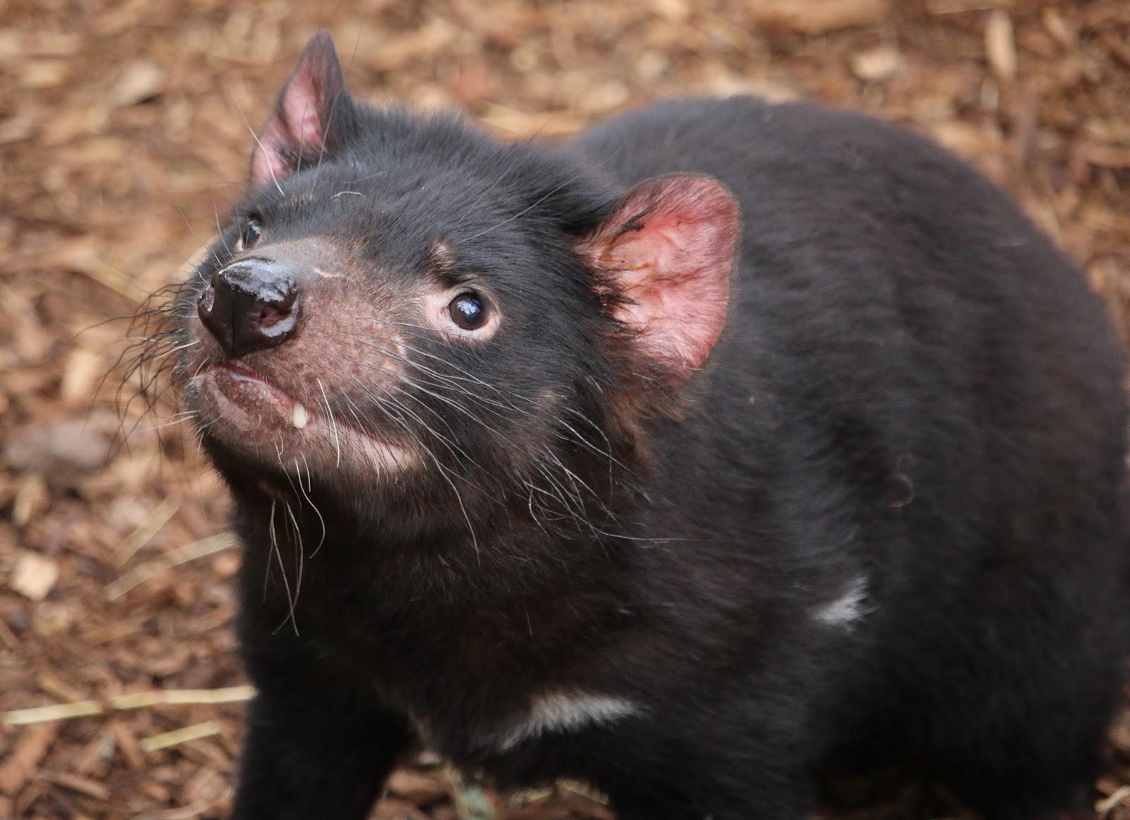 Expedition news - Tasmanian devil pics ...