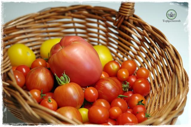 Gartenblog Topfgartenwelt Buchvorstellung Biogärten gestalten: ein Korb voller Tomaten - die erste große Tomatenernte