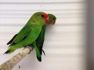 Harga Lovebird Abisinia