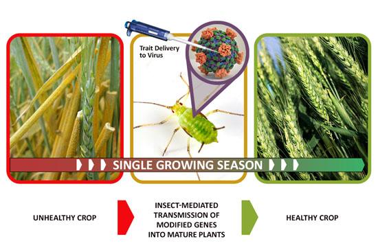 Insetos geneticamente modificados criados nos EUA podem espalhar doenças - Img2