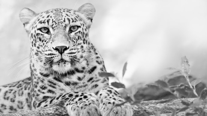 Wallpaper: Leopard