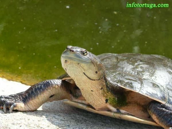 Phrynops hilarii - Tortuga cabeza de sapo de Hilaire