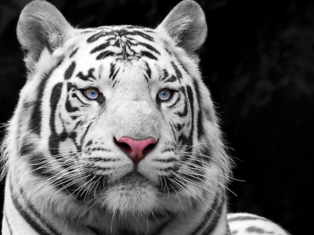 leon y tigre blanco - photo #49