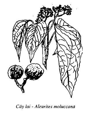 Hình vẽ Cây Lai - Aleurites moluccana - Nguyên liệu làm thuốc Nhuận Tràng và Tẩy