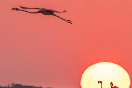 A Caribbean flamingo flies over a flock at sunset
