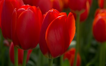 Wallpaper: Red Tulips