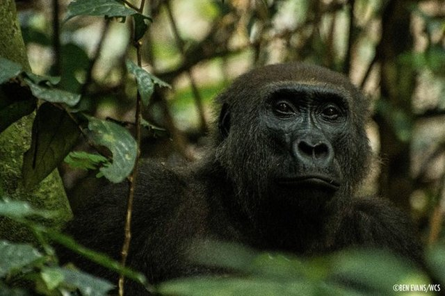 Half of Western Lowland Gorillas May Vanish by 2040. Here's How We Can Prevent That. (Op-Ed)