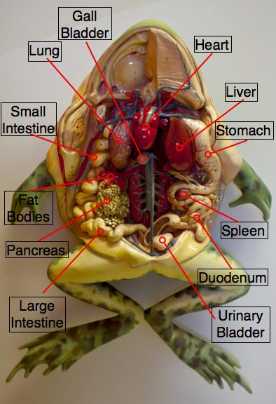 Frog Anatomy Internal And External