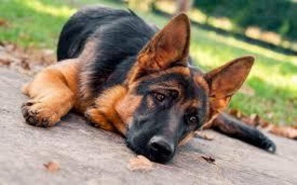 9 tipos de cães que parecem dóceis mas são agressivos (Imagem: Reprodução)