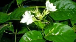 http://rajaramuan.blogspot.com/2014/09/manfaat-dan-khasiat-bunga-melati-untuk-kesehatan.html