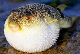 ikan buntal menggelembung