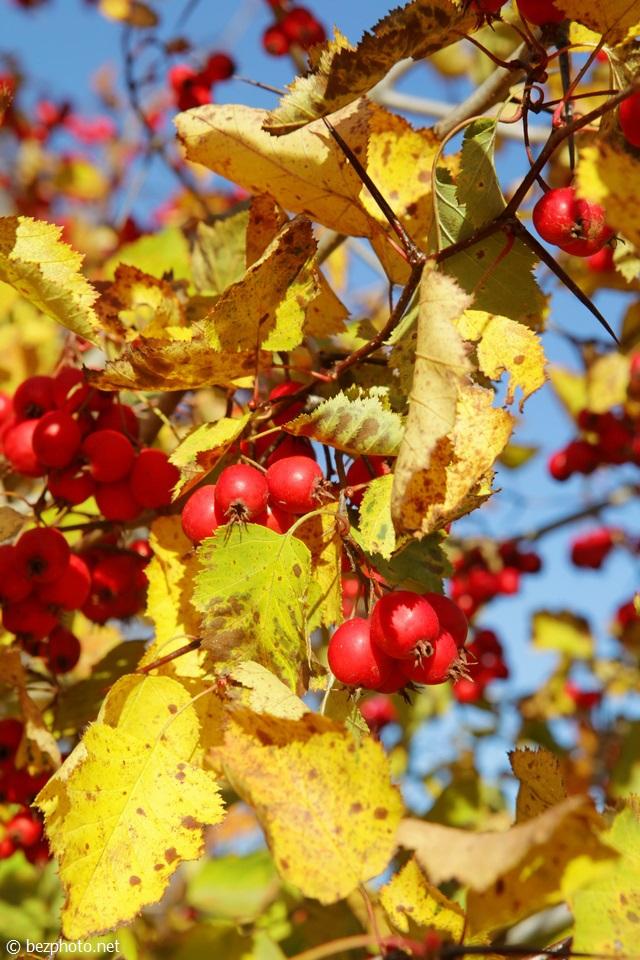 боярышник фото дерева осенью