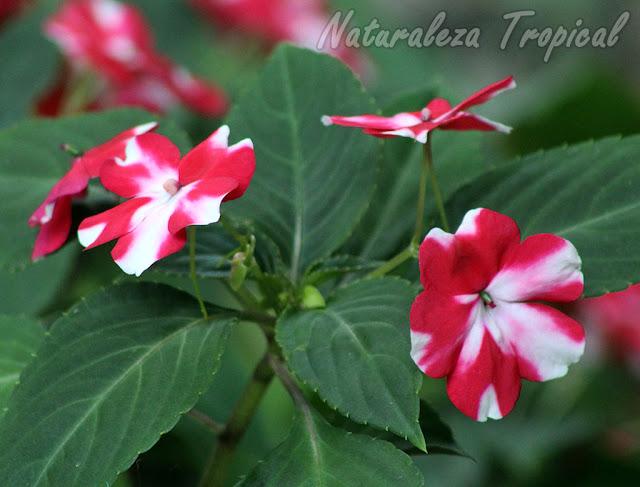 Las Alegrias del hogar son plantas de gran belleza e ideales para interiores, género Impatiens