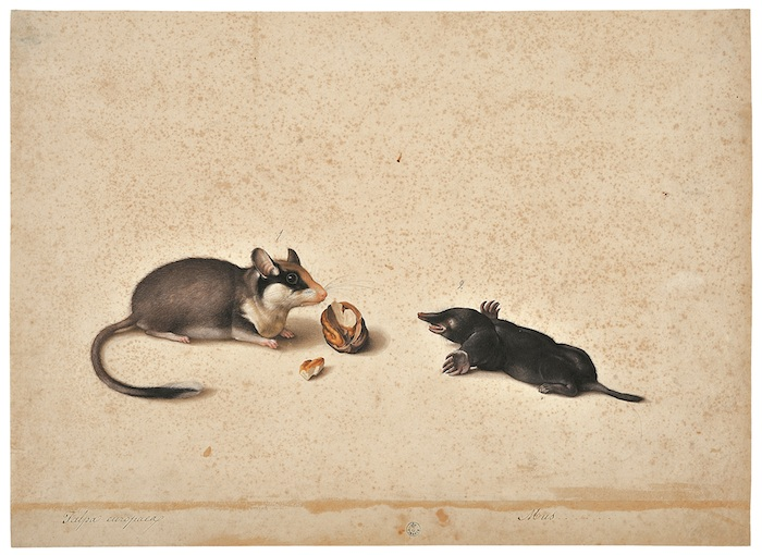 Mostra Jacopo Ligozzi Firenze - Tavole naturalistiche - I Mammiferi e i Rettili - Topo quercino (Eliomys quercinus) e talpa (Talpa sp.), 1577-1587 ca