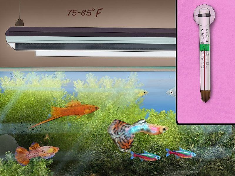 Gambar Pengaturan Suhu Air 75 Derajat Agar Umur Hidup Ikan Guppy Lama
