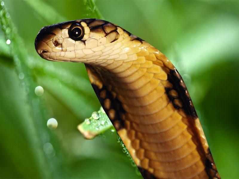 King Snake Hd Pictures Fantastic Snake Wallpaper: King Cobra Wallpapers Download:Computer Wallpaper