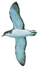 Puffinus assimilis