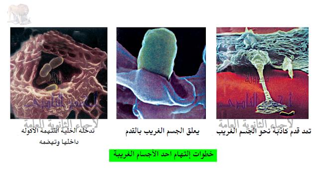 تركيب الجهاز المناعى - الخلايا البلعمية الكبيرة الثابتة - الجوالة - عملية البلعمة