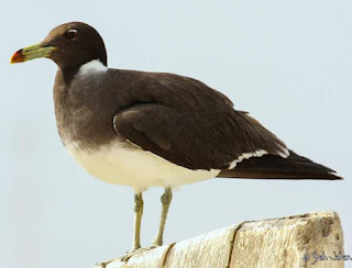 sooty gull (Larus hemprichii) on a perch