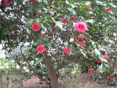 camellia, Japan