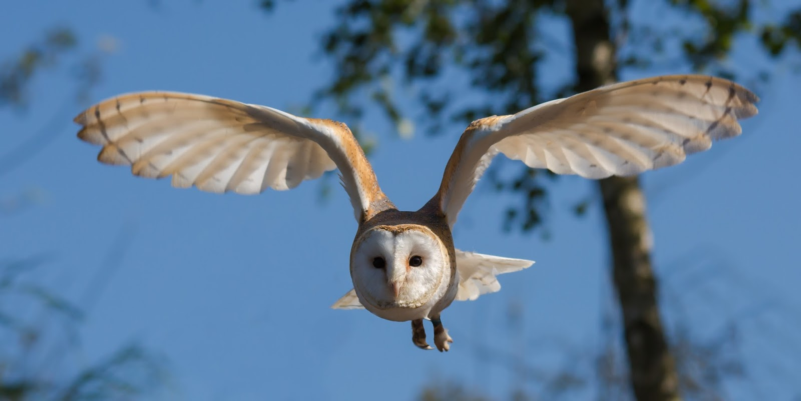 Picture of a bawn owl in flight.