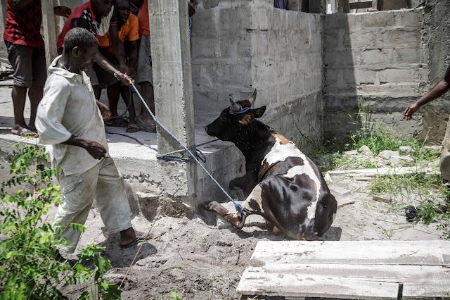 ガーナ 生贄 犠牲  cow 牛 Ghana sacrifice