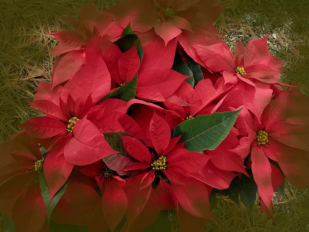 La Botica Del Semidesierto Flores De Nochebuena Para La