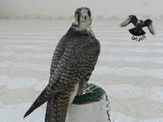 الصقر الحر الجر ودي الجزئي ..falco cherrug coasli :