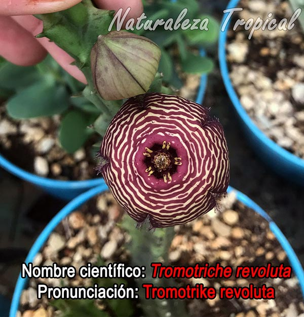 Pronunciación acertada de la planta suculenta Tromotriche revoluta